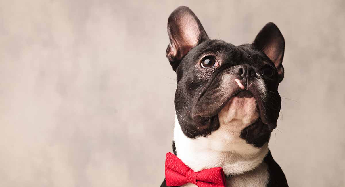 how long do boston terriers live