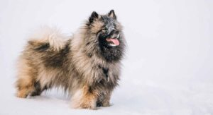 Keeshond – Is This The Fluffiest Guard Dog Breed?
