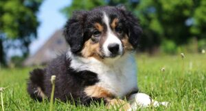 Miniature Collie – Getting Your Paws on a Tiny Rough Collie