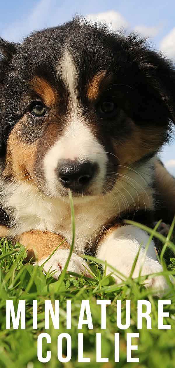 miniature collie