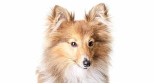 Miniature Sheltie – Your Guide To The Mini Shetland Sheepdog