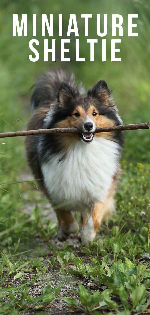 miniature sheltie
