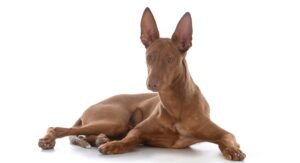 Pharaoh Hound – The Playful Maltese Rabbit Dog