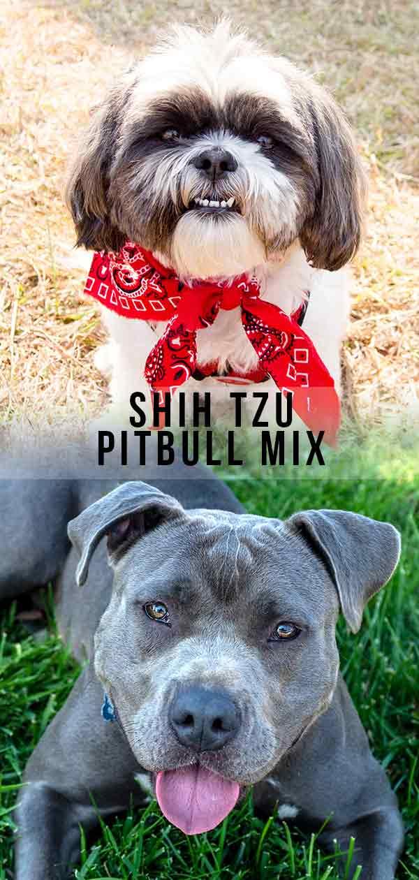 Shih Tzu Pitbull Mix - Where Fluffy Lapdog Meets Loyal Companion