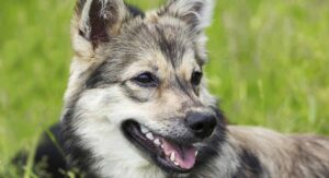 Swedish Vallhund – A Spitfire of a Spitz Breed Dog