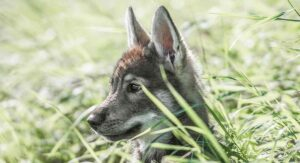 Tamaskan Dog – Is This Wolf-Like Breed Right For You?