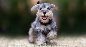 Teacup Schnauzer – An Even More Mini Miniature Schnauzer?