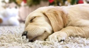 Baby Golden Retriever – Facts And Fun About Golden Pups