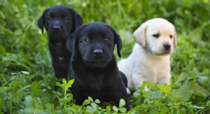 Baby Labrador – What You Need to Know as a Puppy Parent