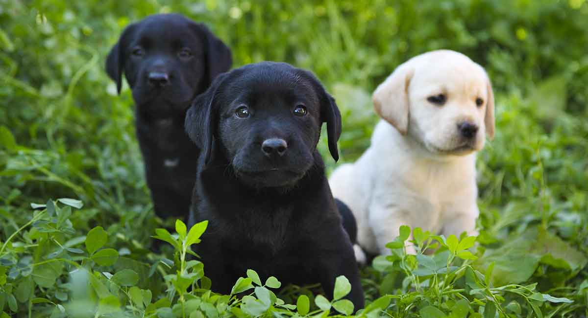 Baby Labrador What You Need To Know As A Puppy Parent
