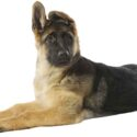 German Shepherd Puppy Growth And Development