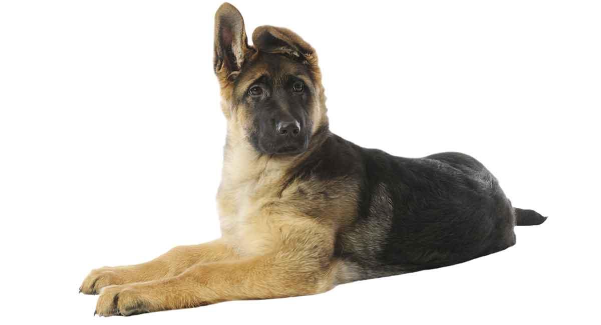 german shepherd puppy growth