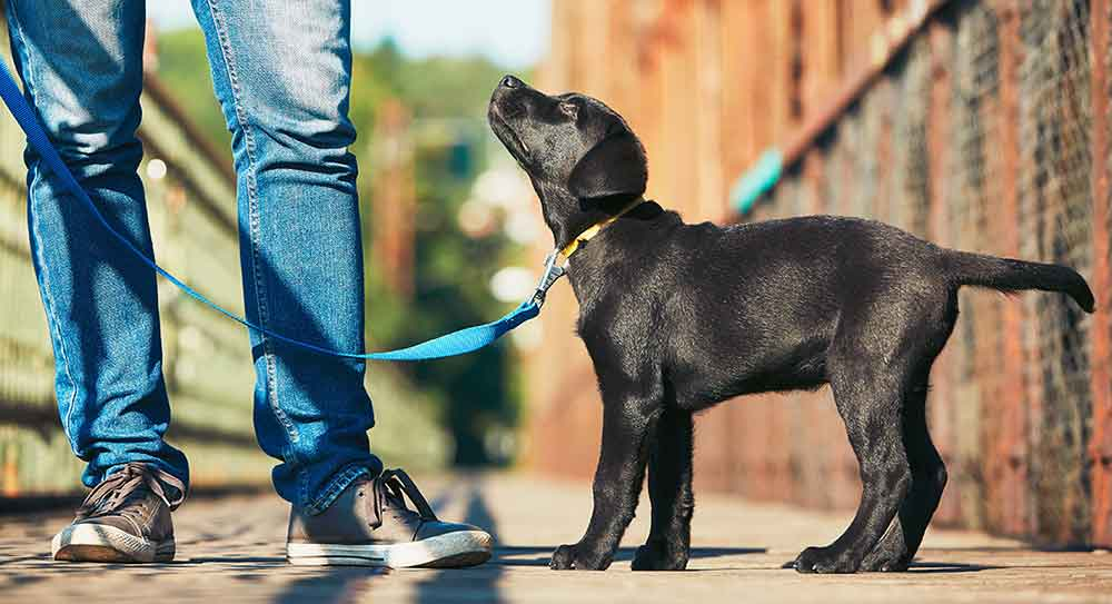 Labrador puppy on a leash, looking up at master