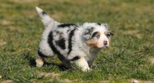 8 Week Old Australian Shepherds – Bringing Home Your Happy Puppy