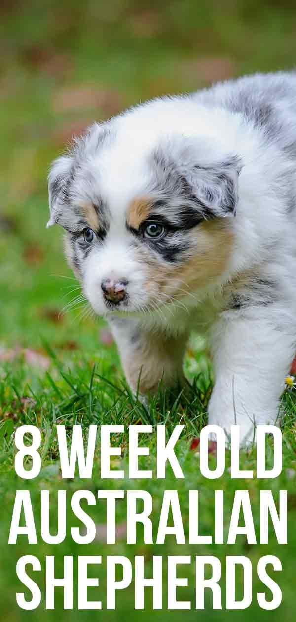 8 Week Old Australian Shepherds Bringing Home Your Happy Puppy