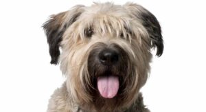 Bouvier Des Flandres – The Bushy-Haired Herding Dog