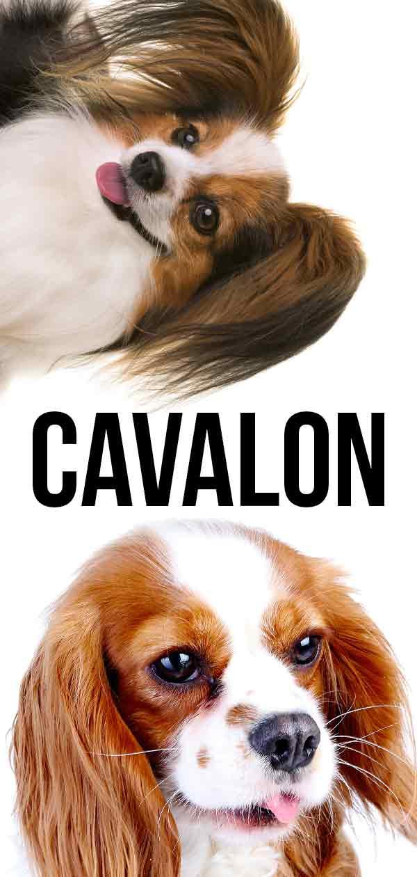 Cavalon