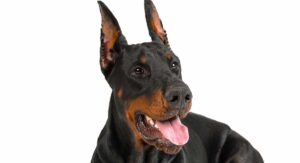 Doberman Ear Cropping – Why It's Done And Should We Avoid It?