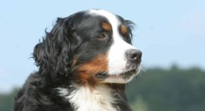 Great Bernese – Your Great Pyrenees Bernese Mountain Dog Mix