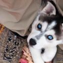 28 Husky Facts – Astound Your Friends With These Fascinating Facts