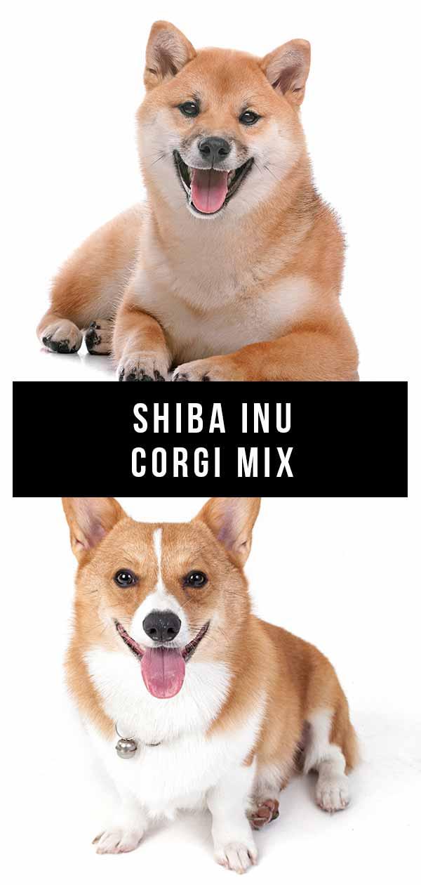 shiba inu corgi mix