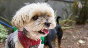 Teacup Maltipoo – The Miniature Maltese Poodle Mix