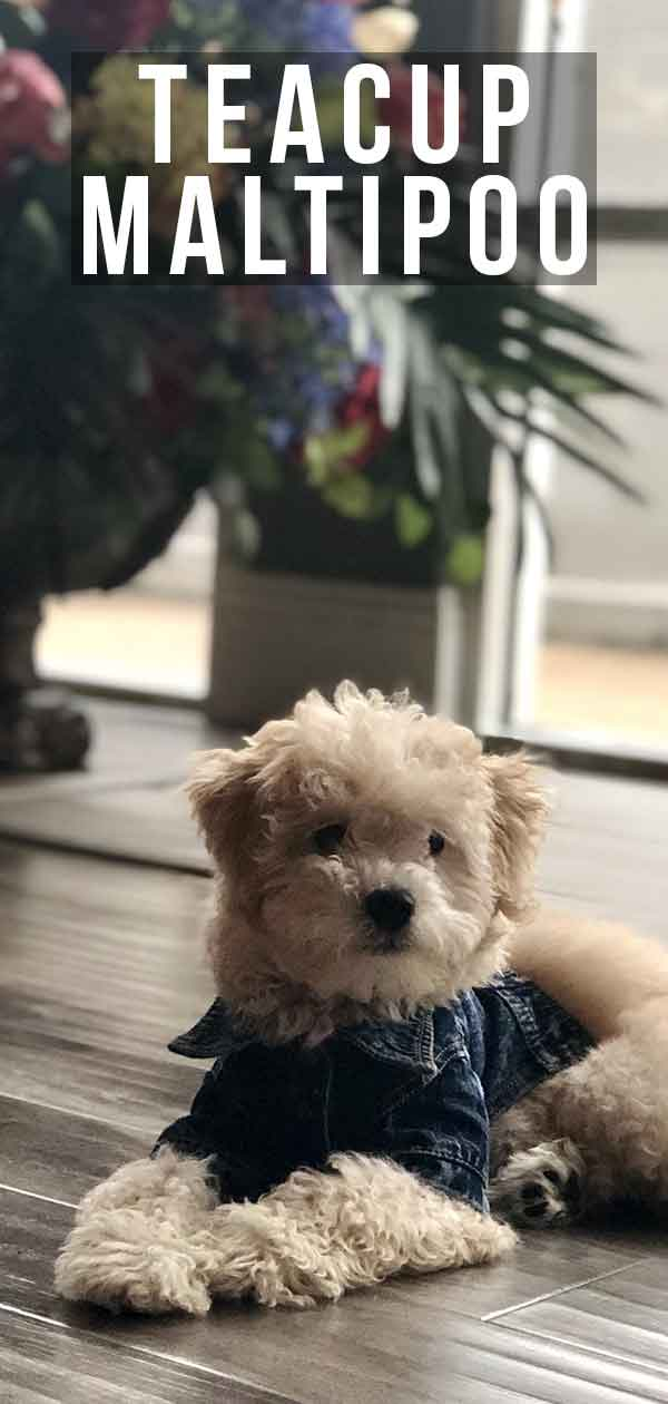 Teacup Maltipoo Discover The Mini Maltese Poodle Mix