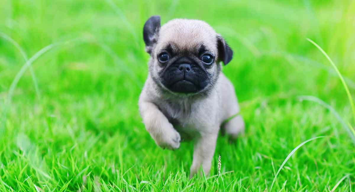 Baby Pug A Guide To How Your Pup Will Grow And Develop