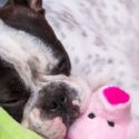 Best Toys For French Bulldogs – Finding The Right Fit