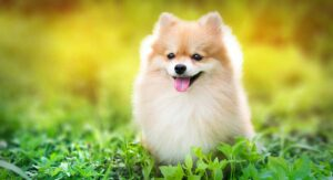Fluffy Dogs – Which Is Your Favorite Fluffy Puppy?