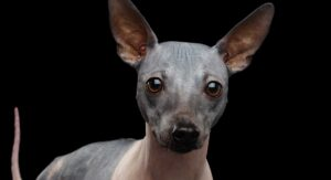 Hairless Dogs – Will They Be Your New Favorite Breeds?