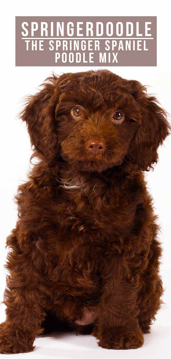 springer spaniel poodle mix