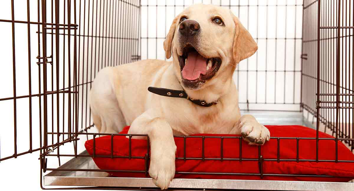 what size crate for a lab