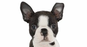 8 week old boston terrier
