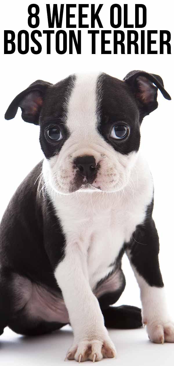 8 week old boston terrier
