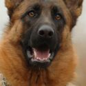 Big German Shepherd Dogs – How to Care for a Super Sized Pup