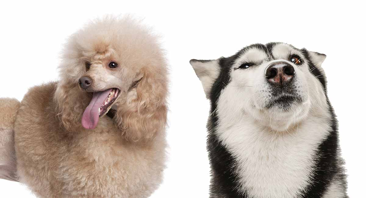 Husky Poodle Mix Breed Information A Guide To The