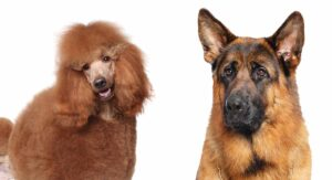 German Shepherd Poodle Mix Breed – A Guide To The Shepadoodle
