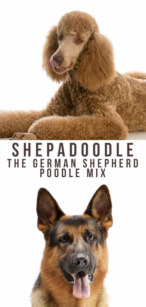 Shepadoodle - The German Shepherd Poodle Mix