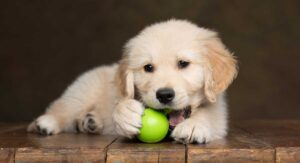 Best Toys For Golden Retrievers – Great Toys For Puppies And Adult Dogs