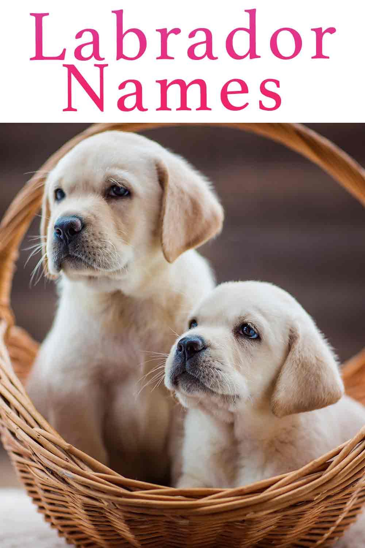 Labrador Names – Over 300 Yellow, Black and Chocolate Lab Names