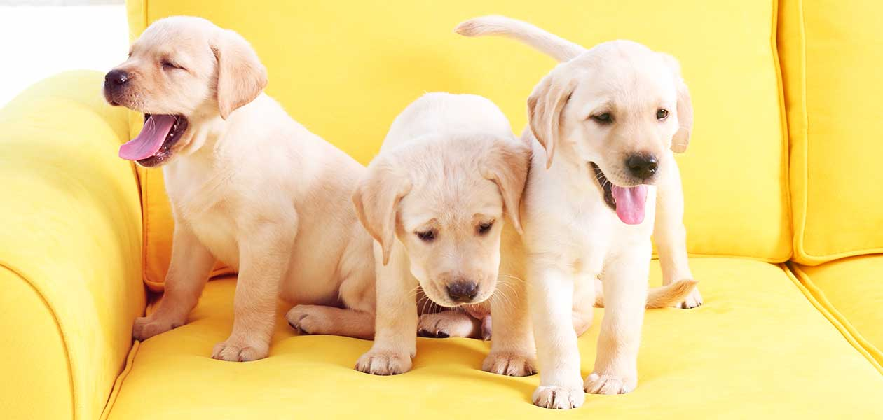yellow dog breeds