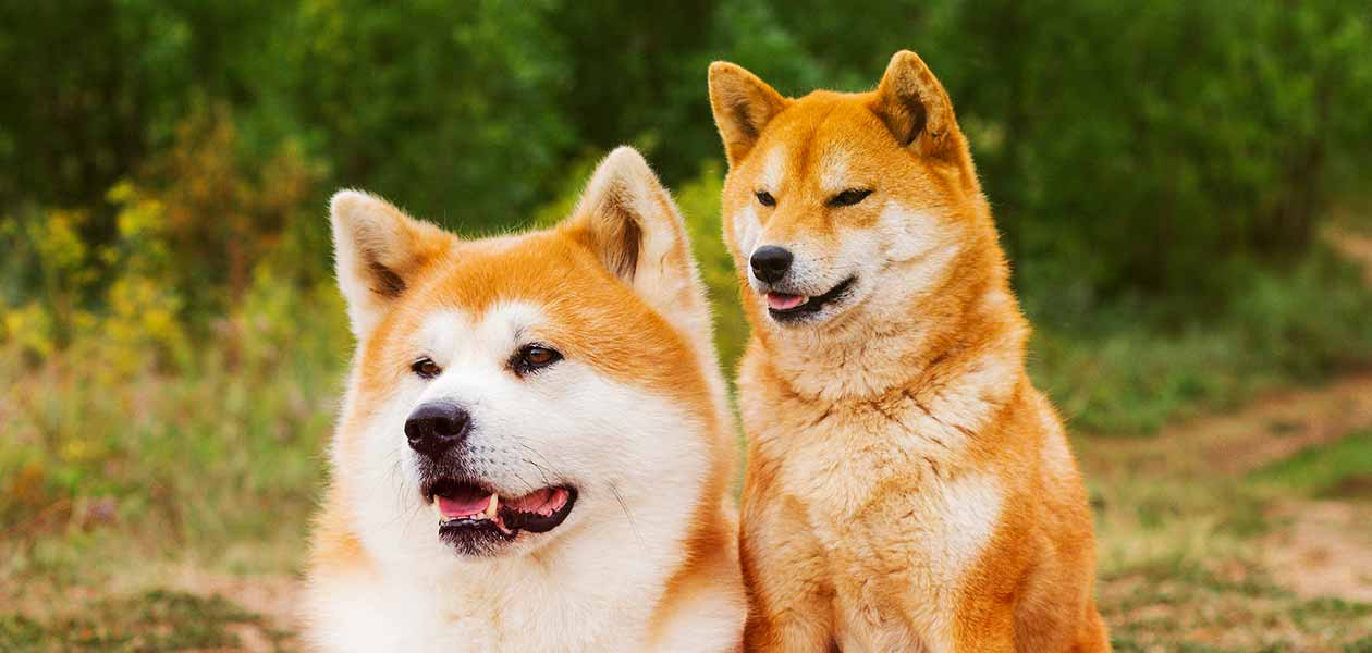 Shiba Inu scream as its way of vocalizing.
