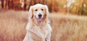 gold dog breeds