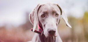 grey dog breeds