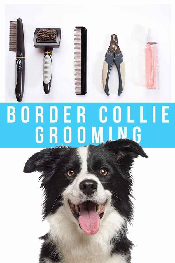 border collie grooming