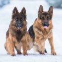 types of german shepherds