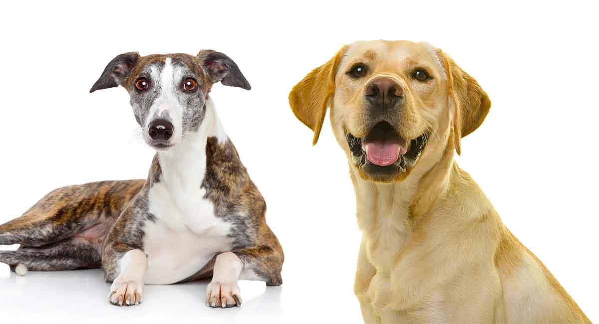 greyhound lab mix