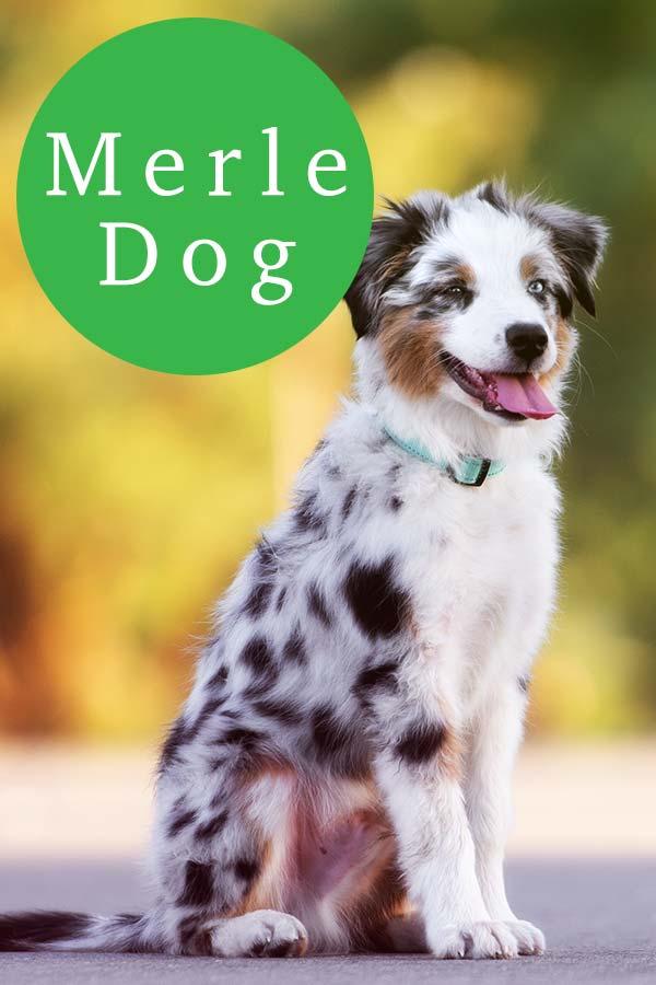 merle dogs