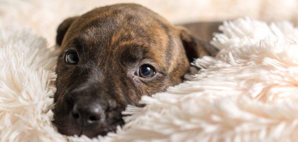brindle dog breeds